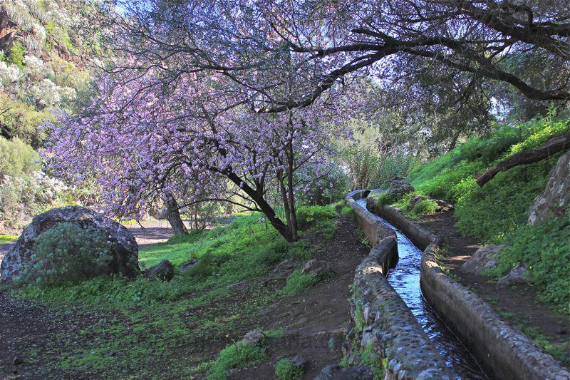 Blühender Mandelbaum am Wasserkanal in der Falkenschlucht