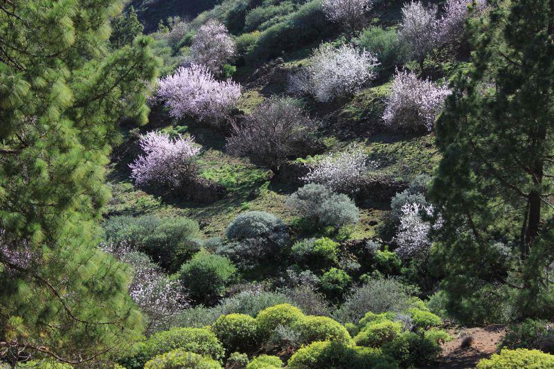 Weissrosa blühende Mandelbäume Ende Januar
