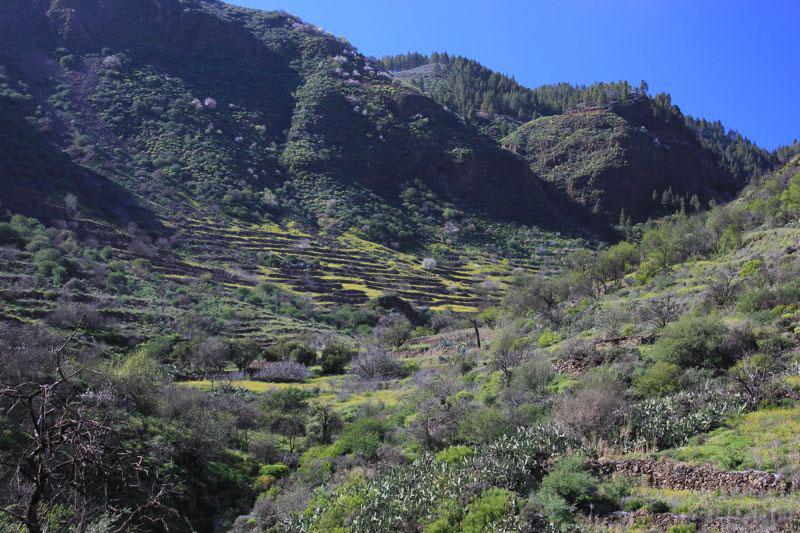 Gelb blühende Wiesen auf Terrassen auf einer Wanderung im Frühjahr im Tal von Guayadeque