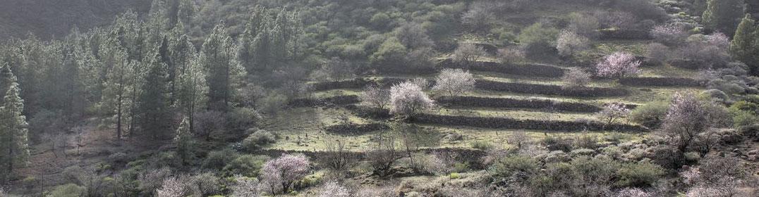 Kanarische Kiefern, Terrassenfelder und blühende Mandelbäume im Barranco de Guayadeque