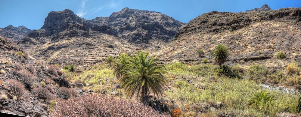 Talgrund vom Barranco Gui gui Grande mit Kanarischen Dattelpalmen und Schilfrohr