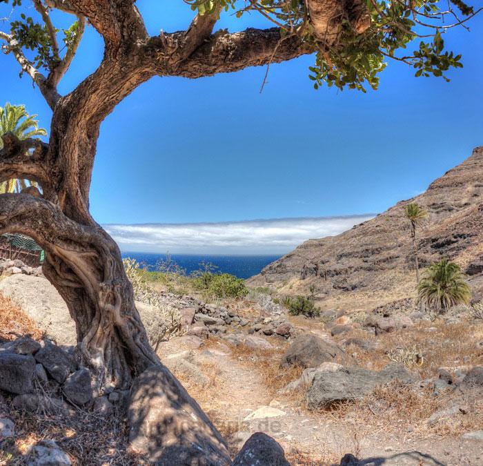 Knorriger Baum im Talgrund oberhalb des Meeres auf einer Sommerwanderung in Gran Canaria