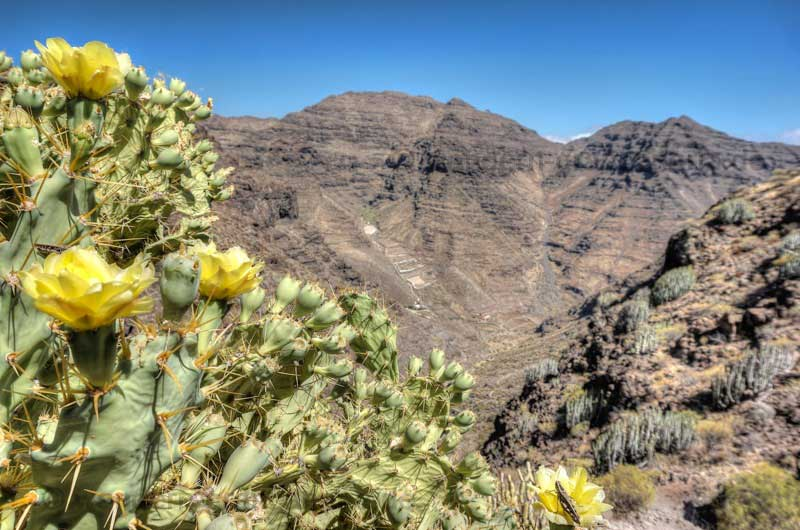 Gelb blühender Feigenkaktus im Südwesten von Gran Canaria
