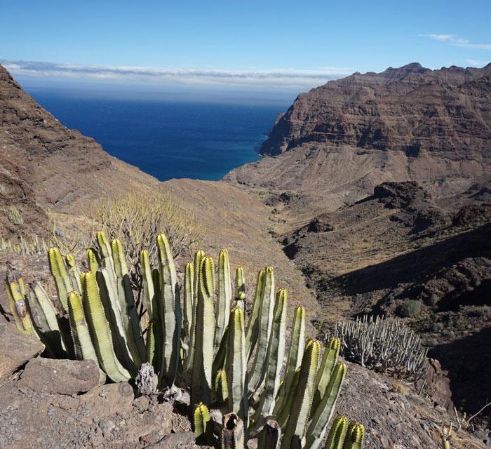 Kanaren Wolfsmilch (Euphorbia Canariensis) bei der bergauf Wanderung vom Guigui Strand nach Tasartico
