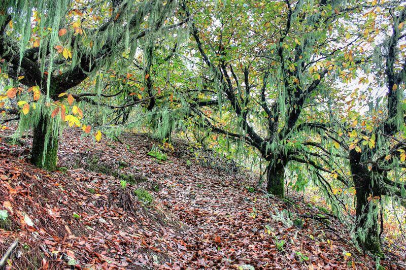 Kastanien mit grünen Bartflechten und Hebstlaub auf der Moriscos Wanderung