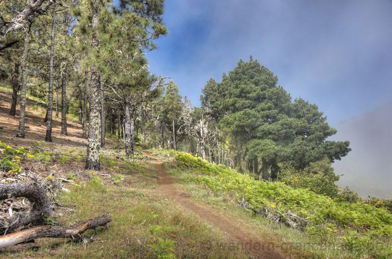 Kiefernwald im leichten Nebel mit grünem Farn im Norden von Gran Canaria