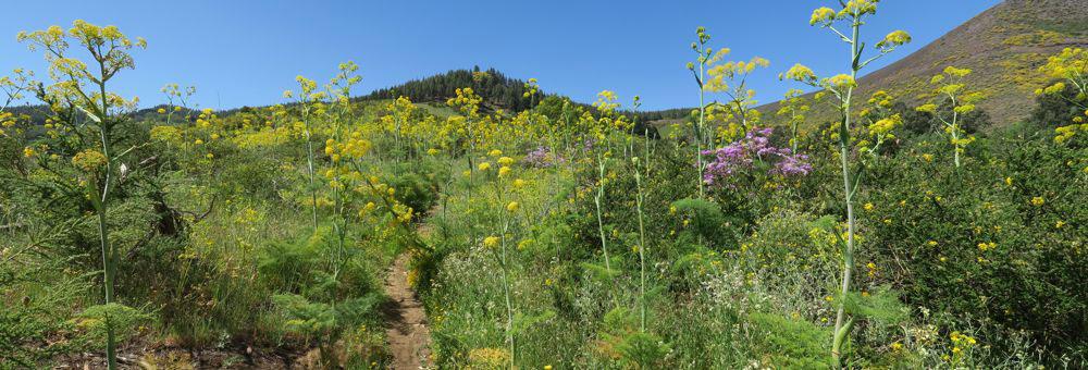 Wanderweg durch dichte Vegetation mit gelbem Riesenfenchel auf dem Weg zum Moriscos