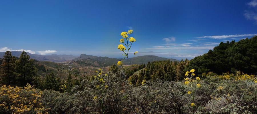 Blick von Gran Canaria über das Tamadaba Massiv nach Westen zum Teide, im Vordergrund gelb blühendes Rutenkraut