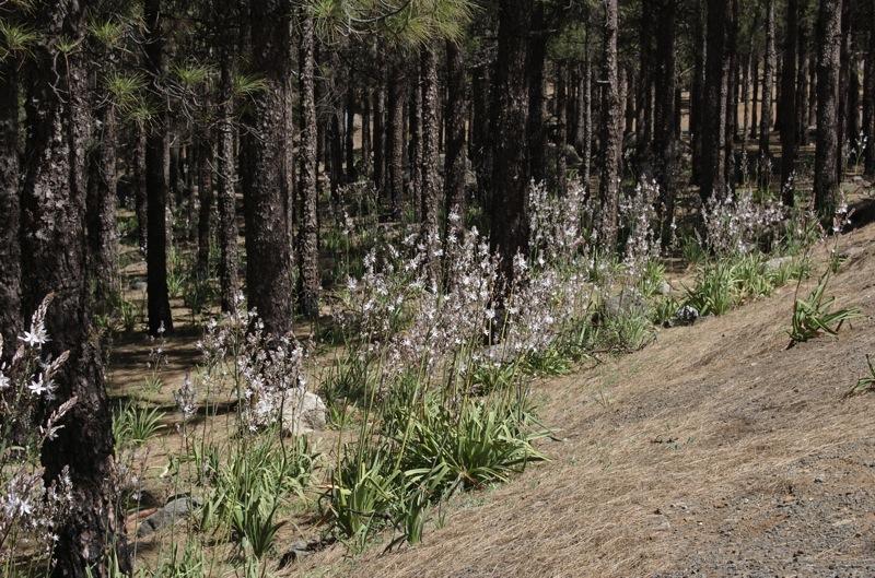 Weiss blühender Affodill im Kiefernwald von Gran Canaria