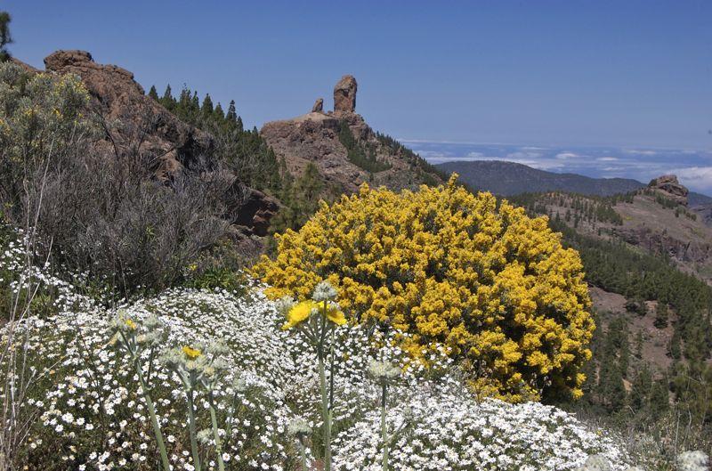 Roque Nublo und gelber Ginster auf der Wandertour zum Pico de las Nieves