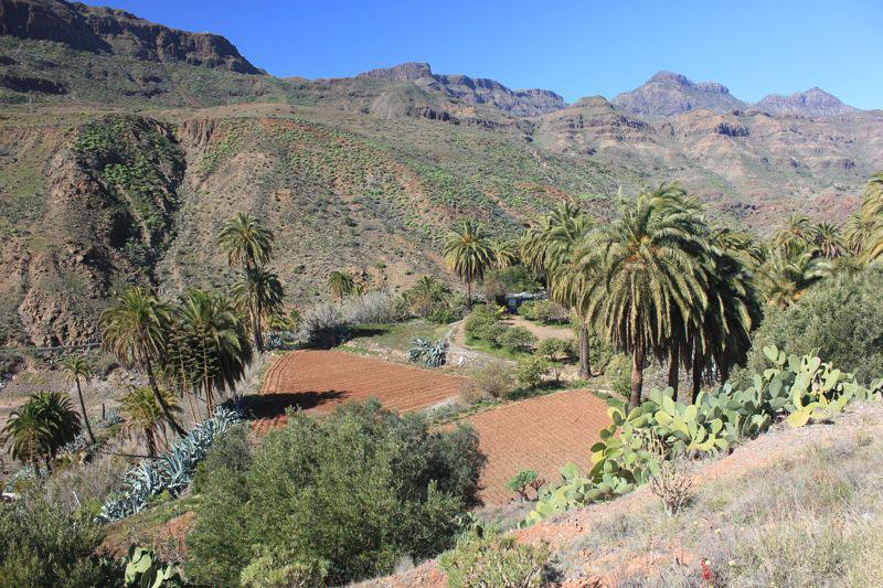 Felder und Palmen auf einer Wanderung im Barranco de Tirajana