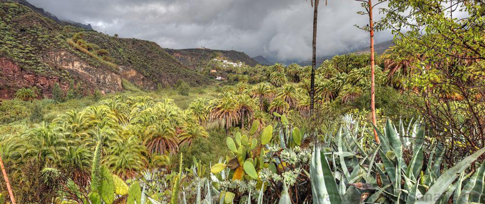Viele Kanarische Dattelpalmen im Tallgrund des Barranco de Tirajan