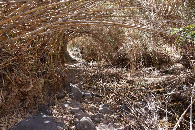 Dichter Schilfrohr Dschungel im Barrancogrund