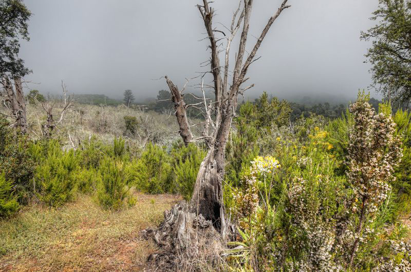 Abgestorbener Kastanienbaum, Baumheide und Gänsedistel bei einer Wanderung oberhalb von Teror