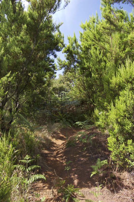 Wanderweg durch den Baumheidewald im Nordosten von Gran Canaria
