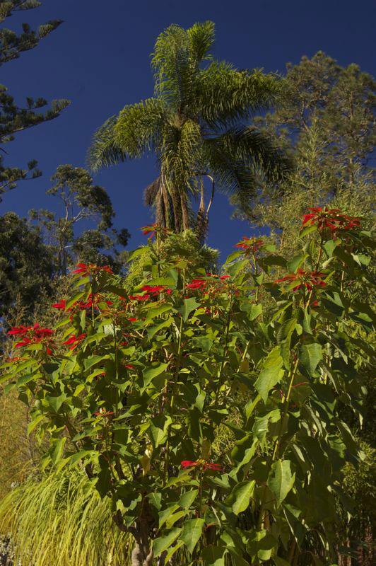 Garten mit Palmen und blühenden Weihnachtsstern in der Finca de Osorio