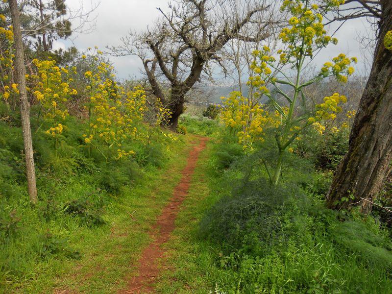Wanderpfad in vegetationsreicher Landschaft zwischen Kastanienbäumen und gelb blühender Riesenfenchel, Gran Canaria