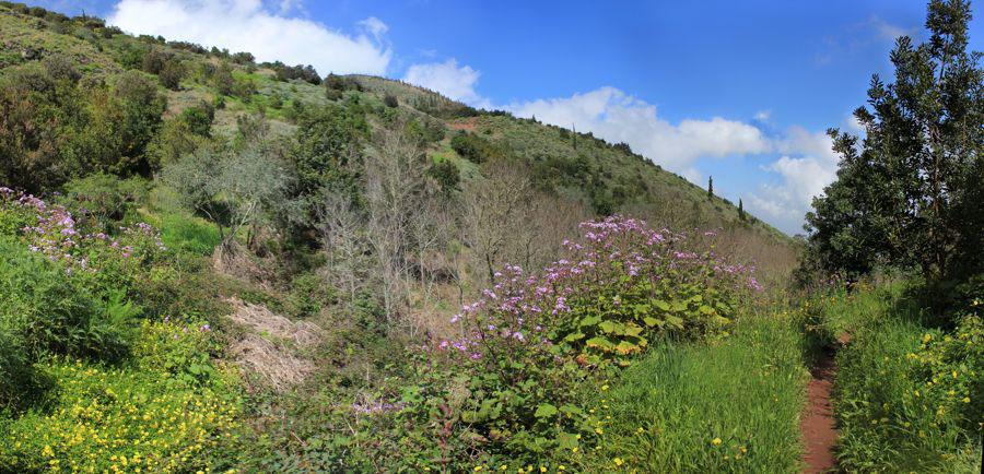Schmaler Wanderweg durch die blühende Landschaft im Nordosten von Gran Canaria mit lila blühenden Cinerarien und gelben Hahnenfuss