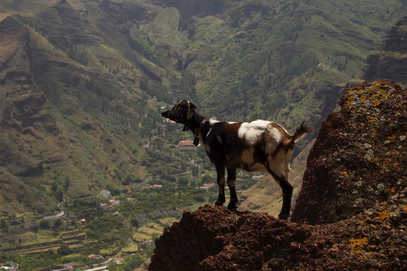 Ziege auf einem Aussichtspunkt oberhalb vom Tal von Agaete, Gran Canaria Nordwesten