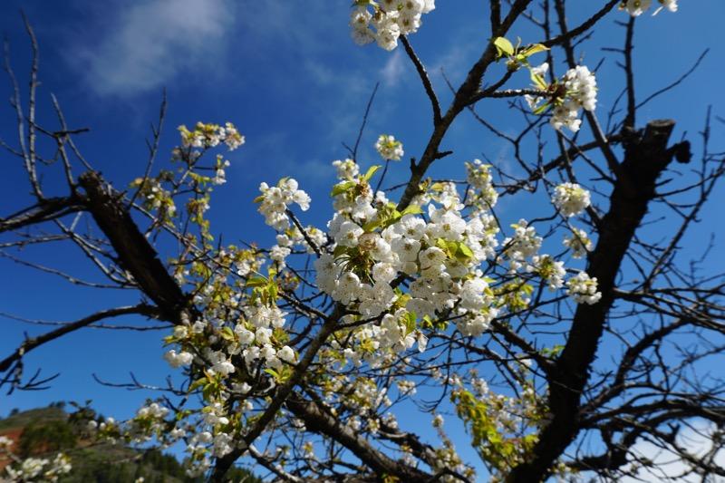 Weis blühender Kirschbaum, Gran Canaria