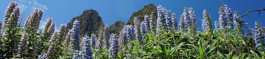 Blauer Natternkopf vor den Riscos de Tenteniguada