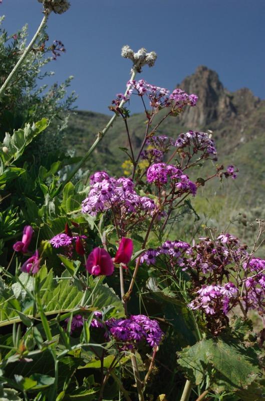 Lila Platterbse und Pericalis, Wanderung Gran Canaria Nordosten
