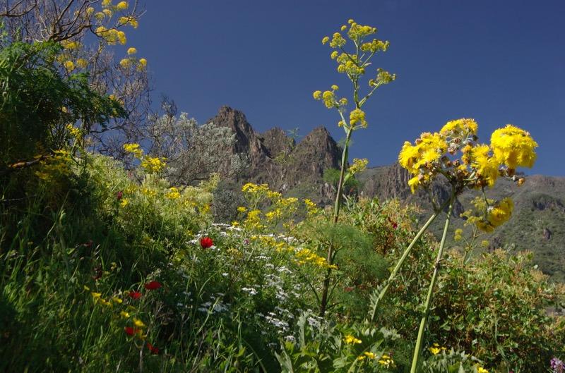 Gelb blühende Gänsedistel und Ratenkraut auf der Natternkopf Wanderung