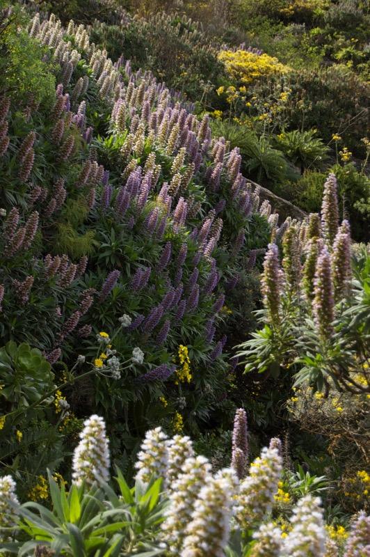 In verschiedenen Farben blühende Natternkopfsträucher, Wandertour Gran Canaria