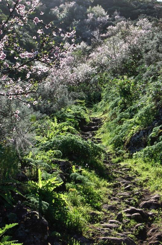 Stein gepflasterter Wanderweg mit blühenden Mandelbäumen, Gran Canaria Nordosten
