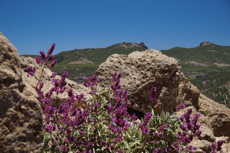 Blick zum Pico de las Nieves mit lila blühendem Kanarensalbei