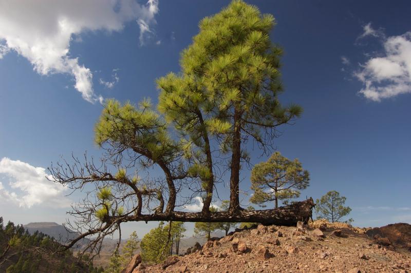 Vom Wind umgeworfene Kanarische Kiefer mit senkrechten kleinen Bäumchen aus dem Baumstamm