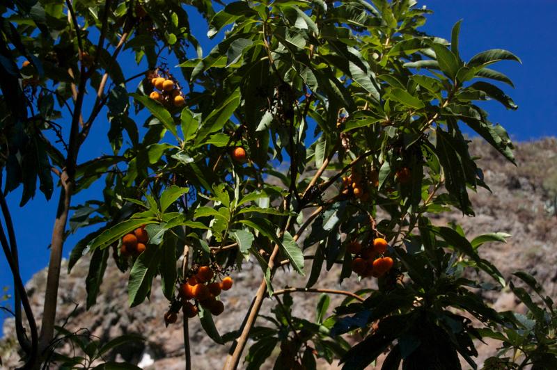 Orange Früchte des Kanaren Erdbeerbaumes im Norden von Gran Canaria