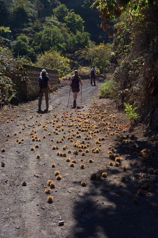 Kastanien auf dem Wanderweg hinauf im Barranco de la Virgen