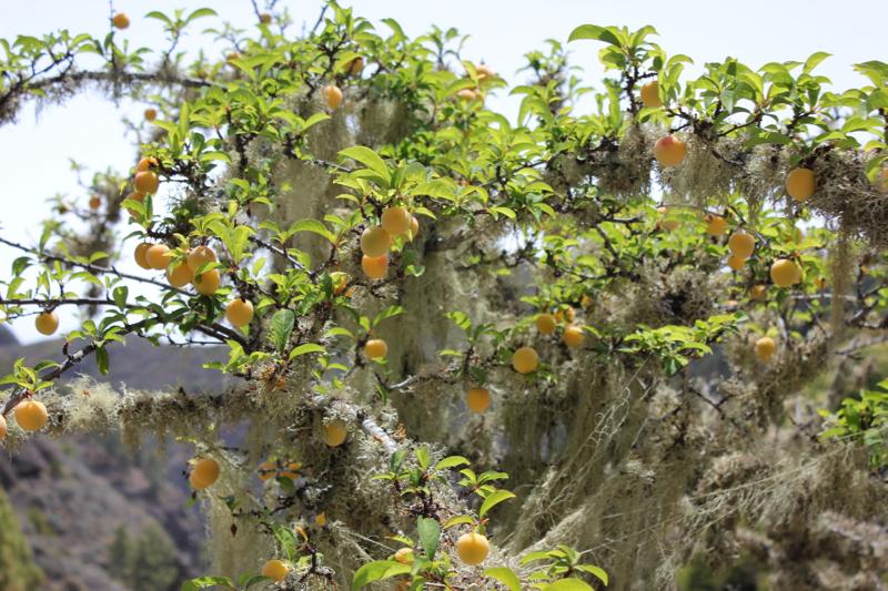Obstbäume mit vielen Flechten und gelben Mirabellen im Norden von Gran Canaria