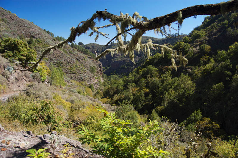 Flechten bewachsener Ast im Barranco de la Virgen, Gran Canaria Norden