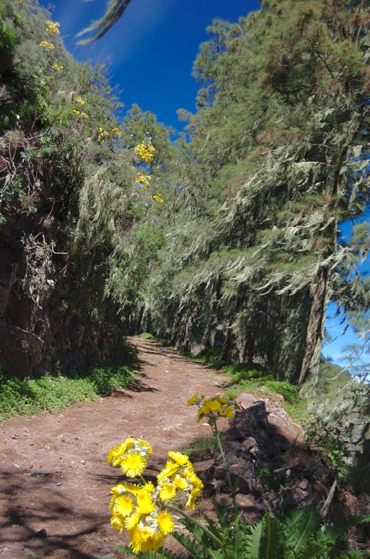 Gelb blühende Gänsedistel und Bartflechten auf den Kiefern, oberhalb von Valsendero