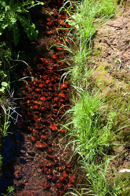 Rotbraune Kastanien in einer Wasserleitung im Norden von GRan Canaria