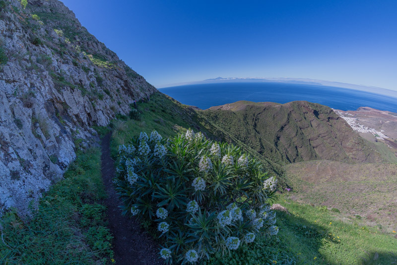 Weiss blühender Natternkopf und schmaler Weg unterhalb der Felsen des Tamadaba Massives