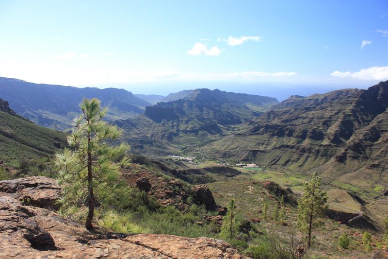 Kanarische Kiefern oberhalb des Tales von Veneguera