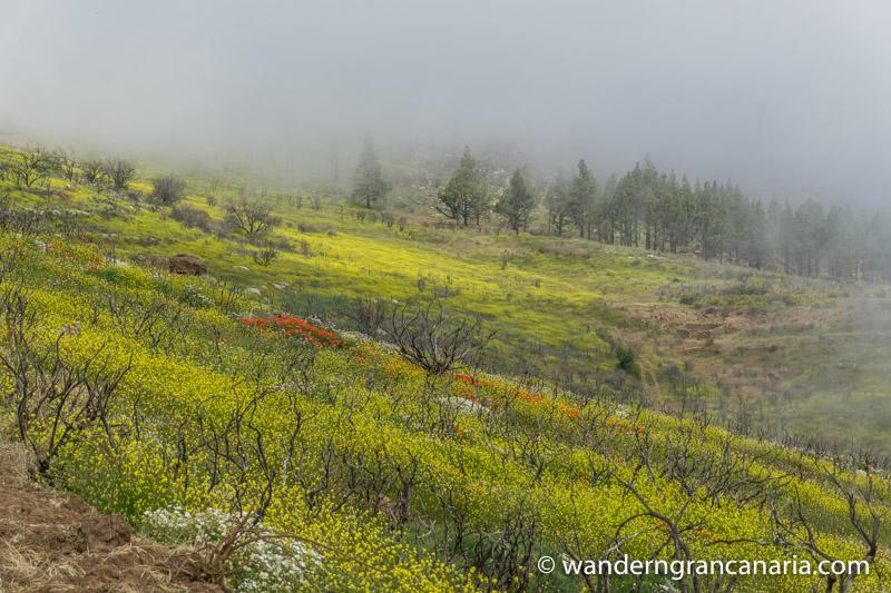 Gelb blühende Blumenwiesen bei einer Wanderung im Zentrum von Gran Canaria