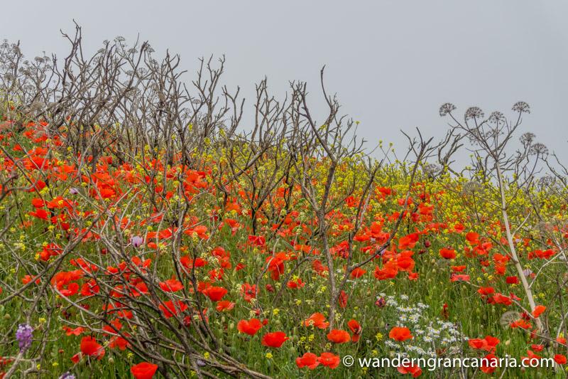 Rot blühender Mohn auf einer Wanderung im Frühjar auf Gran Canaria