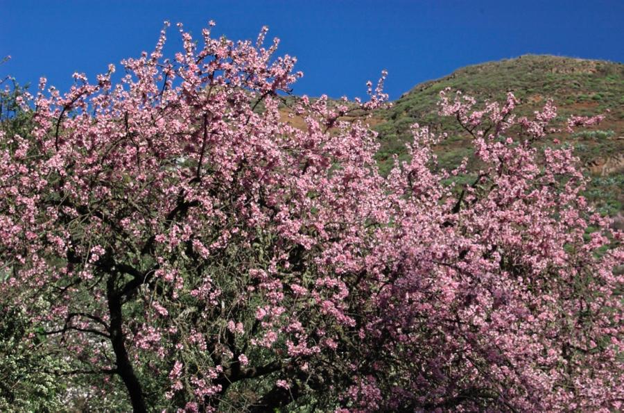 Rosa Mandelbaum in voller Blüte, Gran Canaria Osten