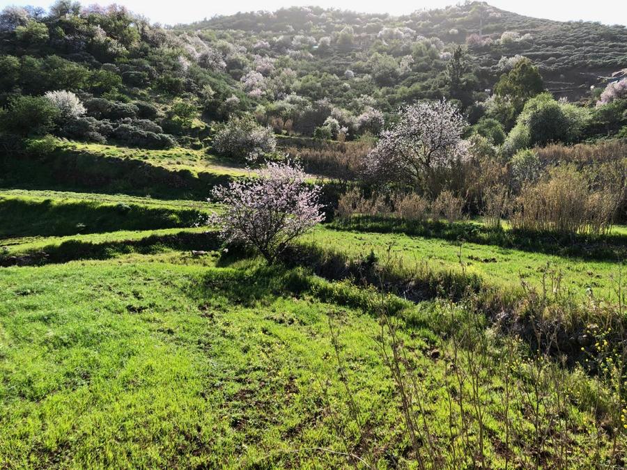 Grüne Terrassen mit blühenden Mandelbäumen auf einer Wanderung im Osten von Gran Canaria.
