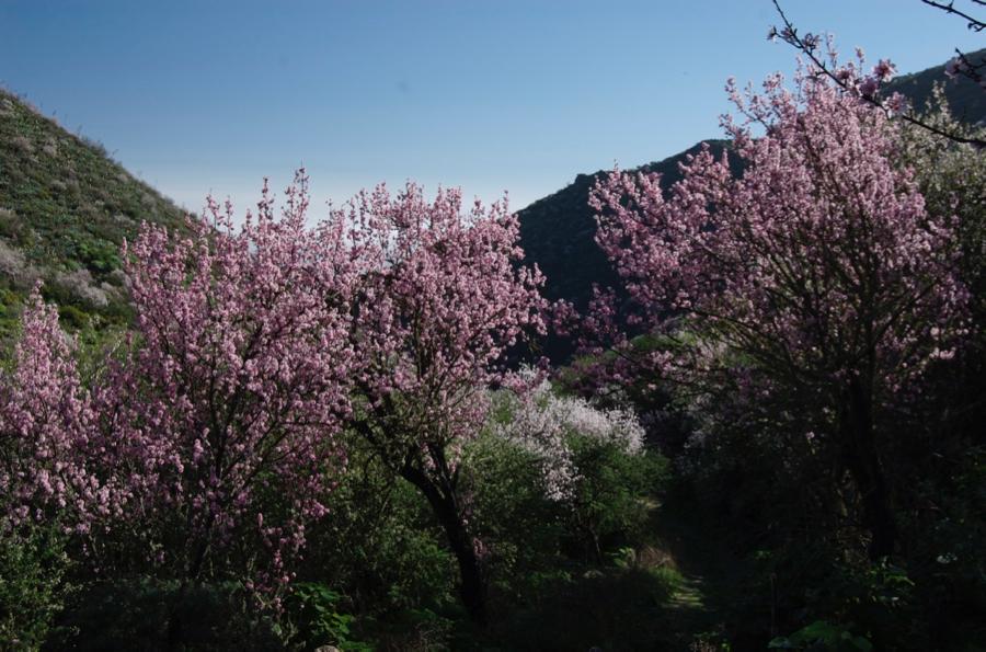 Rosa blühender Mandelbaum auf Gran Canaria.