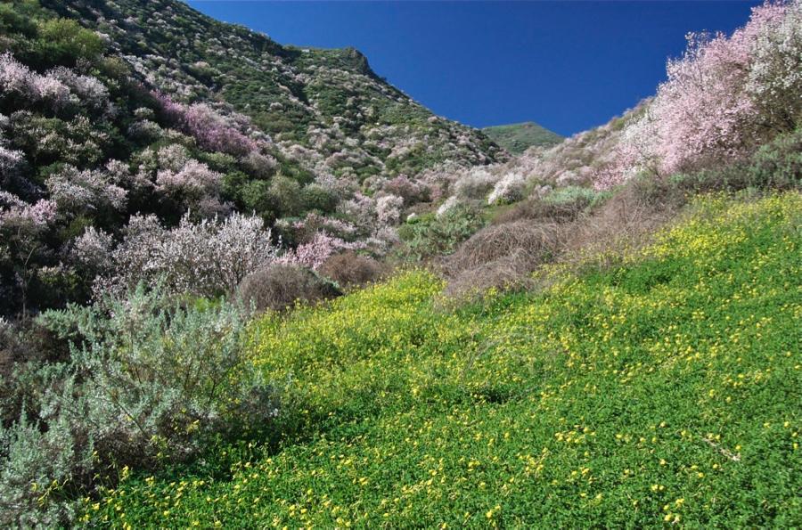 Gelb blühender Sauerklee mit weiss und rosa blühenden Mandelbäume auf einer Wanderung auf Gran Canaria