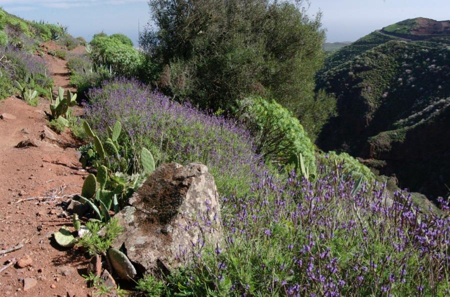 Lila blühender Kanarischer Lavendel neben dem Wanderweg.