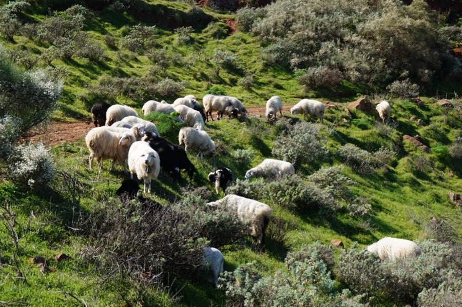 Schafe grasen auf grünen Wiesen im Nordosten von Gran Canaria.